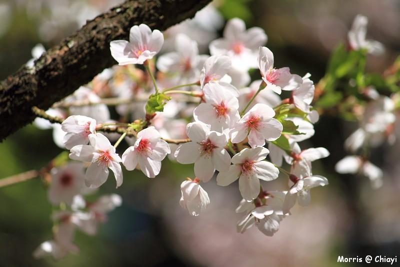 2012阿里山櫻花季 (109)