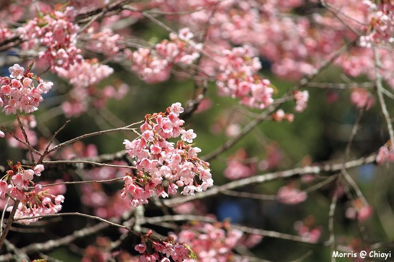 2012阿里山櫻花季 (110)