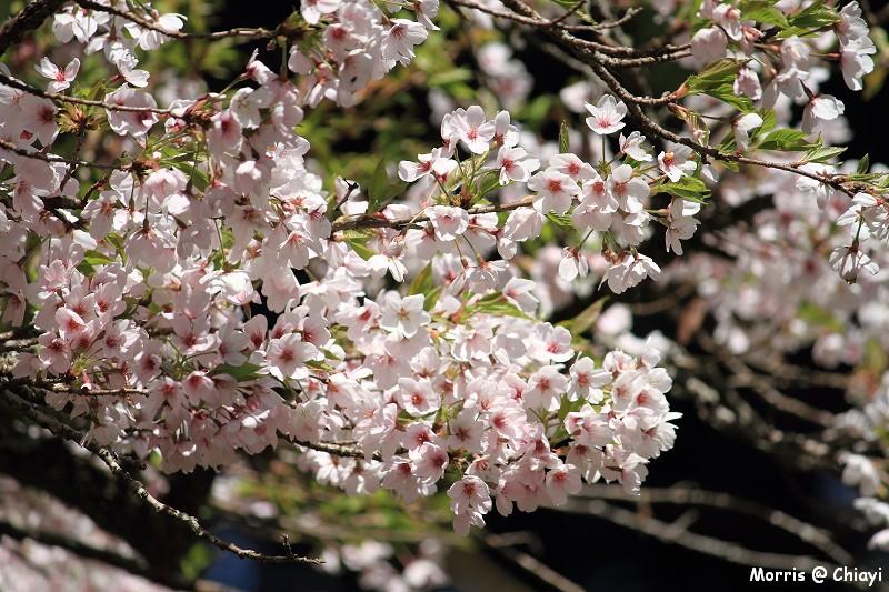 2012阿里山櫻花季 (111)
