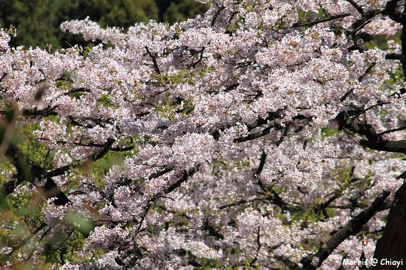 2012阿里山櫻花季 (112)