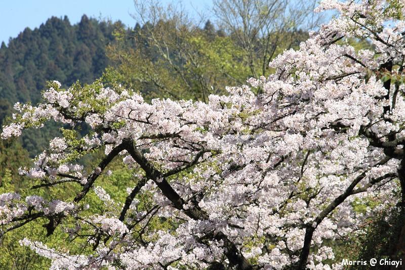 2012阿里山櫻花季 (113)
