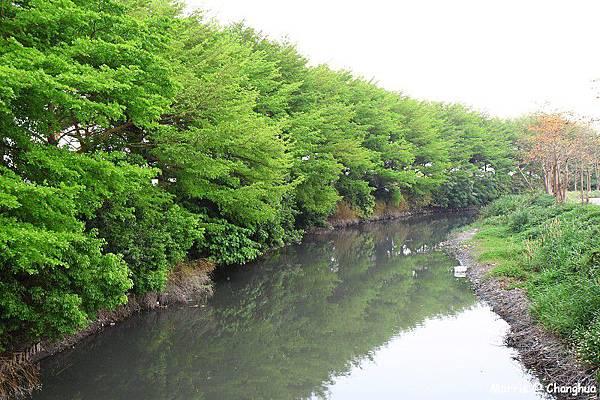 埤頭木棉花道 (34)