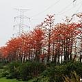 埤頭木棉花道 (12)