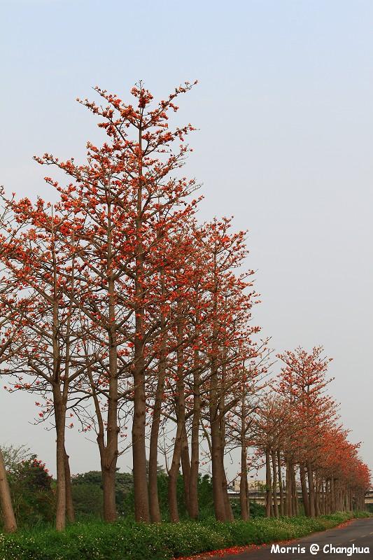 埤頭木棉花道 (25)