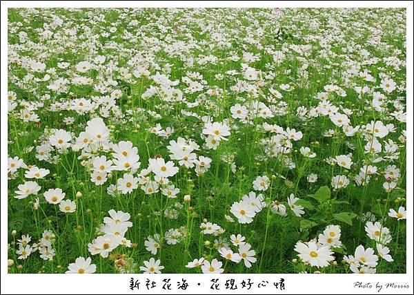 97新社花海 (02).JPG