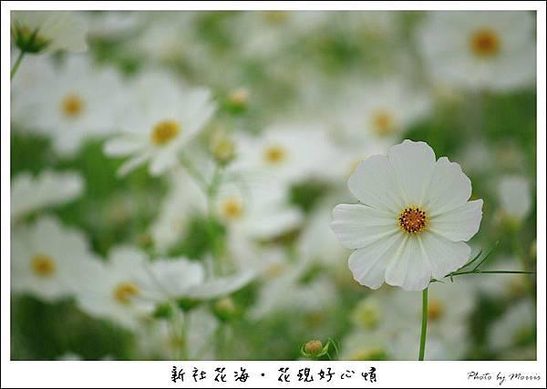 97新社花海 (04).JPG