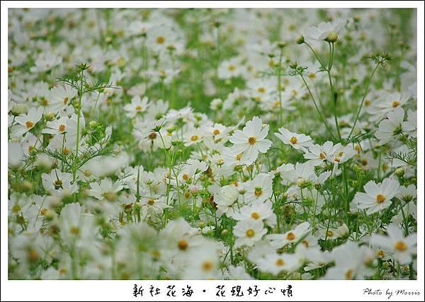 97新社花海 (05).JPG
