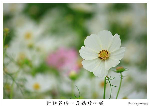 97新社花海 (06).JPG