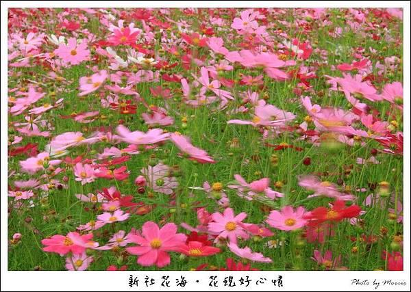 97新社花海 (08).JPG
