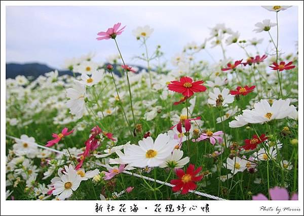 97新社花海 (09).JPG
