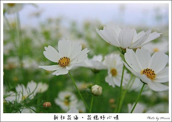 97新社花海 (10).JPG