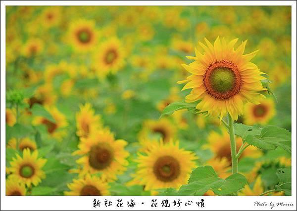 97新社花海 (12).JPG