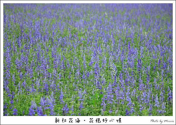 97新社花海 (21).JPG