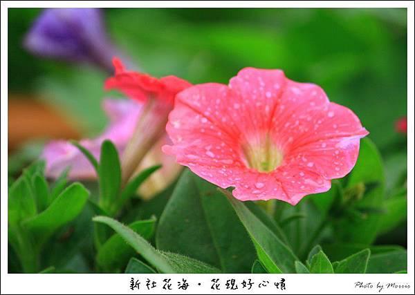 97新社花海 (24).JPG
