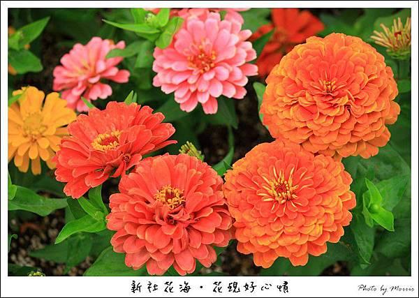 97新社花海 (25).JPG