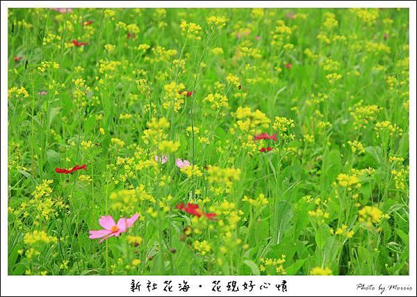 97新社花海 (27).JPG