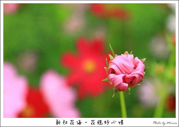 97新社花海 (31).JPG
