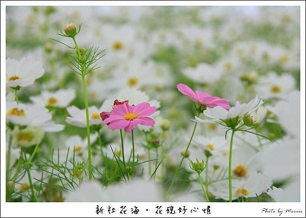 97新社花海 (34).JPG