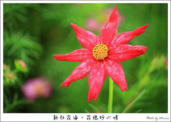 97新社花海 (36).JPG