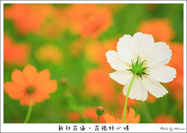 97新社花海 (42).JPG