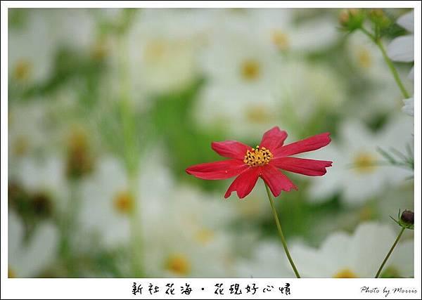 97新社花海 (49).JPG