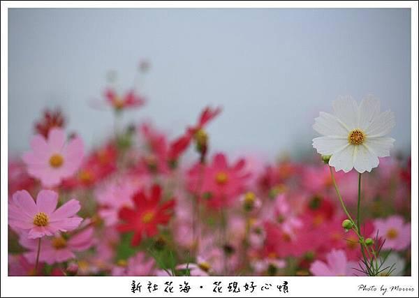 97新社花海 (52).JPG