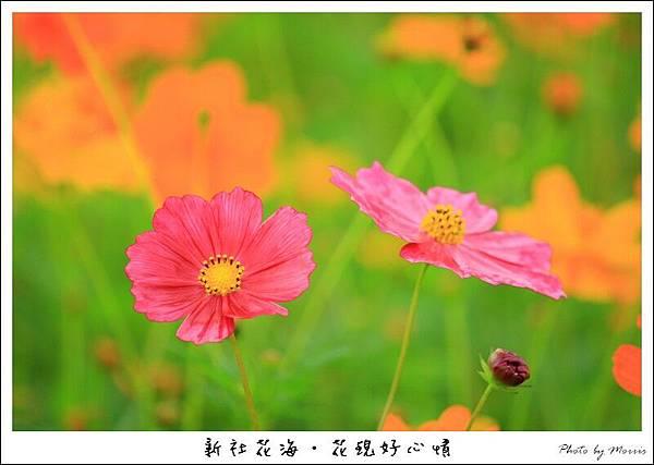 97新社花海 (56).JPG