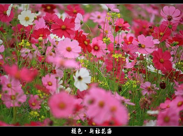 褪色‧新社花海 (44).JPG