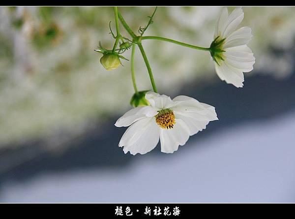 褪色‧新社花海 (10).JPG