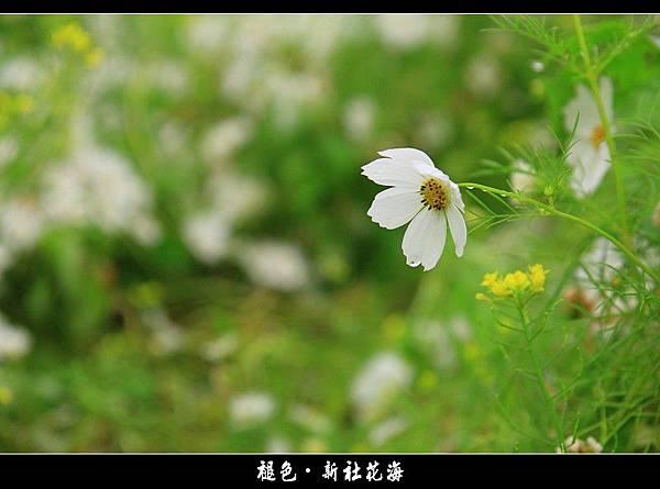 褪色‧新社花海 (19).JPG