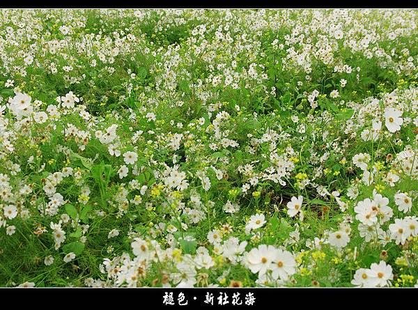 褪色‧新社花海 (20).JPG