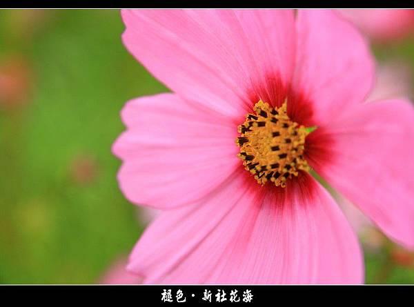 褪色‧新社花海 (21).JPG