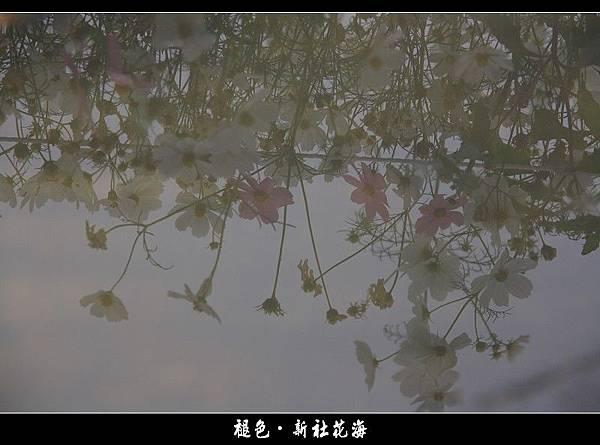 褪色‧新社花海 (22).JPG