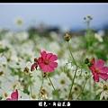 褪色‧新社花海 (25).JPG