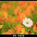 褪色‧新社花海 (28).JPG