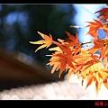 福壽山楓情畫 (07).JPG