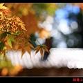 福壽山楓情畫 (16).JPG