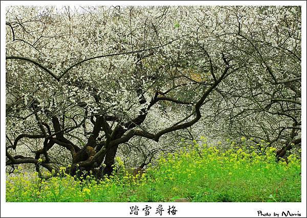 2009信義踏雪尋梅 (29).JPG
