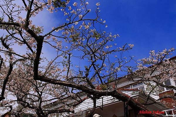 不一樣的阿里山櫻花季 (66).JPG