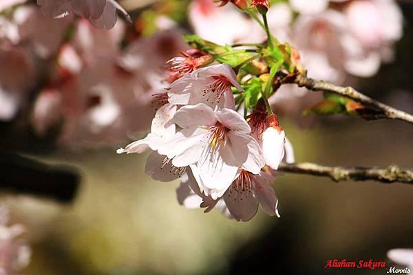 不一樣的阿里山櫻花季 (06).JPG