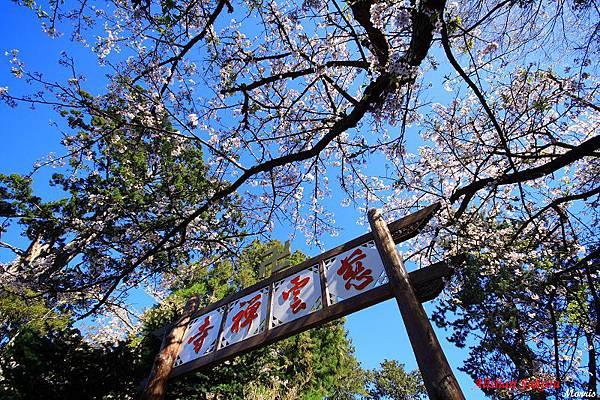 不一樣的阿里山櫻花季 (18).JPG