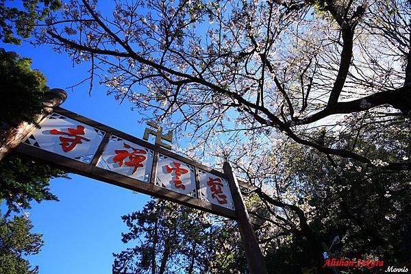 不一樣的阿里山櫻花季 (20).JPG
