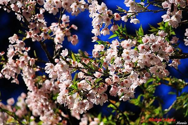 不一樣的阿里山櫻花季 (22).JPG