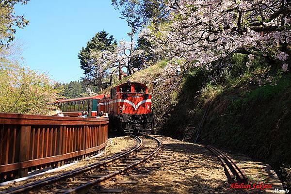 不一樣的阿里山櫻花季 (42).JPG