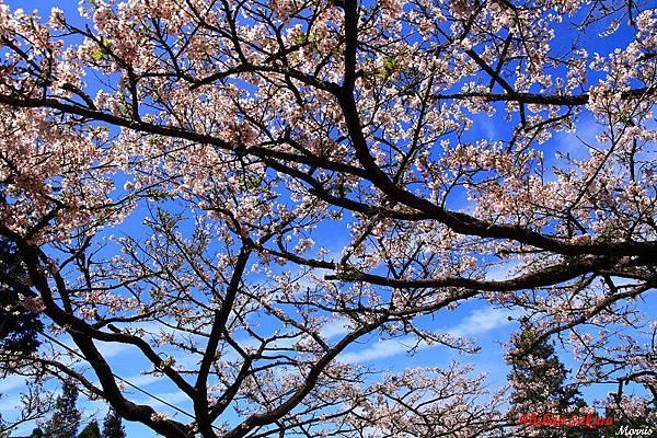 不一樣的阿里山櫻花季 (61).JPG