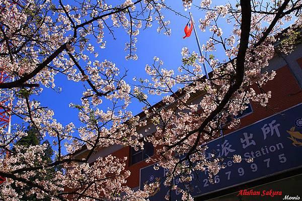 不一樣的阿里山櫻花季 (63).JPG