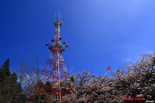 不一樣的阿里山櫻花季 (65).JPG