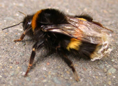 BumbleBee-OnPavement.jpg