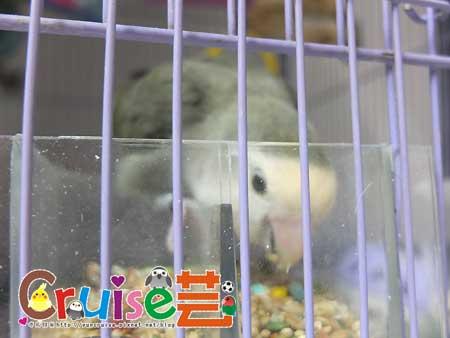 美國布朗氏-安可系列-中小型鸚鵡 (2)