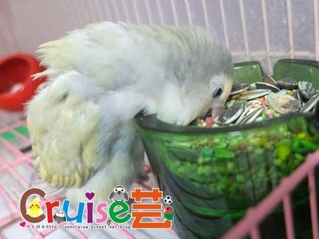美國布朗氏-安可系列-中小型鸚鵡 (4)